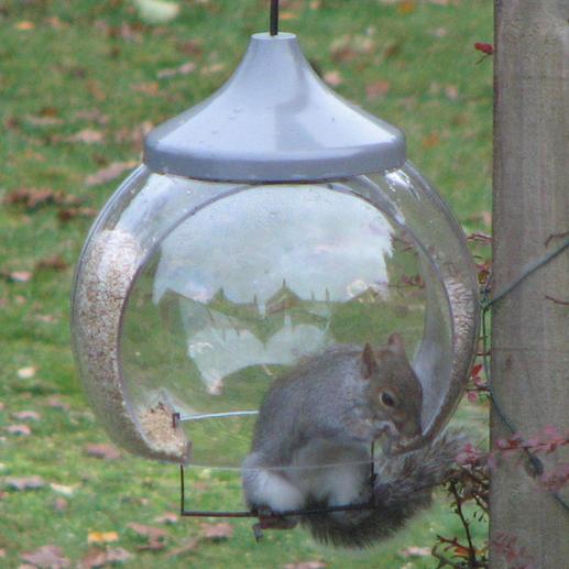 """""""Bonjour, j'ai pensé que vous auriez bien aimé voir votre mangeoire à oiseaux """"cloche"""" en action. J'ai accroché le perchoir à l'intérieur et regardez qui a trouvé rapidement à quoi cela sert - même bien avant que les oiseaux l'aient compris.(...) Un super produit. Meilleures salutations, Malcolm H., Grande-Bretagne, 22.11.2010"""""""